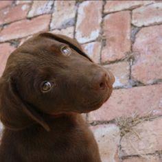 Latte :) Chocolate lab Chocolate Labs, I Love Chocolate, Lab Pups, Silver Labs, Labrador Retrievers, Labradors, Pet Stuff, Puppys, Adorable Animals
