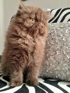 Miss Diva our Beautiful Chocolate Persian