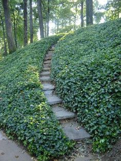 Ivy-so calming and a great ground cover. Tradition!
