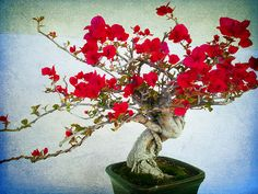bonsai tree - Bougainvillea, raspberry color.