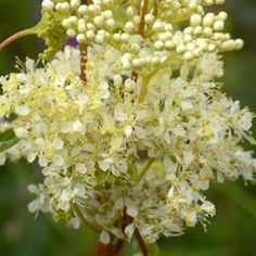 Meadowsweet is a wild herb and flower that is rich in vitamin C, antioxidants, and bioflavonoids, and works as a natural digestive aid and pain reliever. Meadowsweet has been found to decrease the amount of acid build up in the stomach by soothing the mucous membranes and digestive tract, which makes it an excellent remedy for digestive issues such as nausea, ulcers, heartburn, gastritis, indigestion, ibs, and diarrhea.