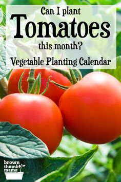 Know exactly which vegetables to plant in your garden each month with a customized vegetable planting calendar. Save money and time by planting your vegetables when they will thrive and give you a great harvest! Vegetable Planting Calendar, Garden Plants Vegetable, Tomato Plants, Planting Vegetables, Garden Pests, Organic Vegetables, Growing Vegetables, Veggies, Growing Cherry Tomatoes
