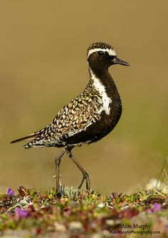 Pacific Golden Plover (Pluvialis fulva) - breeds in the Arctic tundra, from northernmost Asia into western Alaska. It nests on the ground in a dry open area. It winters in south Asia and Australasia, and a few winter in California and Hawaii, USA. Cute Birds, Pretty Birds, Beautiful Birds, Exotic Birds, Colorful Birds, Sea Birds, Wild Birds, Golden Plover, Aquatic Birds