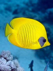 red sea butterflyfish