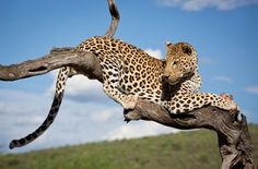 Graceful leopard
