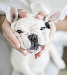 Wembley the French Bulldog Puppy by Frame Your Pet - Pretty Fluffy | Pretty Fluffy