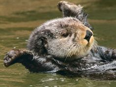 Sea Otter 300 Piece Jigsaw Puzzle : Tom And Pat Leeson : 9780764958243 Cute Funny Animals, Cute Baby Animals, Animals And Pets, Otters Cute, Baby Otters, Beautiful Creatures, Animals Beautiful, Otter Birthday, Animal Birthday