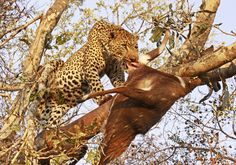 The Kruger National Park is the perfect destination to view the Big Five as well as the multitude of animals and birds Africa has to offer. Kruger National Park, Pet Birds, Safari, Photographs, Africa, Around The Worlds, Pictures, Animals, Photos