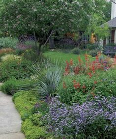 Austin Texas native Texas landscape.  Yard with Sotool, tropical sage, mexican feather grass, Gregg's mistflower, dessert willow tree & much more!