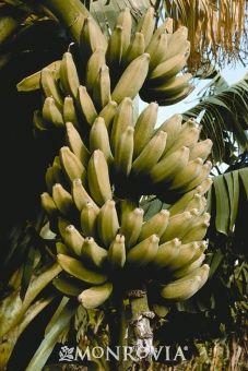 Rajapuri Banana