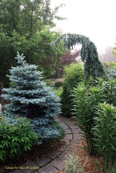 I like the droopy one - conifer mix
