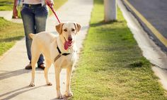 How to Stop Your Labrador Pulling on the Lead