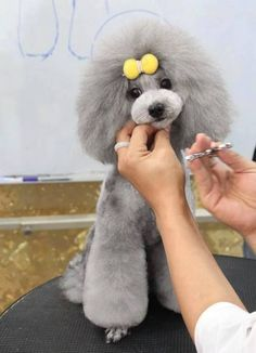 30 Different Dog Grooming Styles - Tail and Fur.LOVE this style of clip on a poodle; wish it was popular when I was grooming, but no one had heard of it back then Dog Grooming Styles, Poodle Grooming, Pet Grooming, Cortes Poodle, Poodle Cuts, Creative Grooming, Puppy Cut, Fru Fru, Tea Cup Poodle