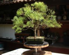 Aramando um bonsai | Aido Bonsai