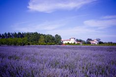Bear Flag Farms: A beautiful wedding venue with fields of lavender.