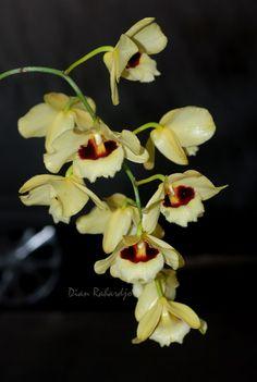 Dendrobium 'Gutton Sunray' - Flickr - Photo Sharing!