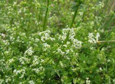 A közönséges galaj virágos szárrészét június-júliusban gyűjtjük Natural Remedies, Health Care, Spices, Health Fitness, Healing, Medical, Nature, Plants, Blog
