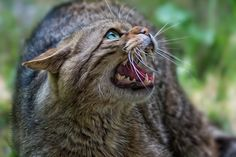 don't touch me - some confused wildcats with domestic cats but here you can see why they are wildcats.