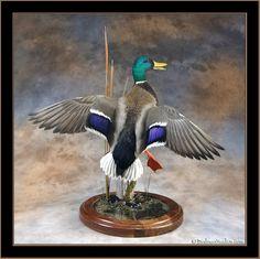 duck mounts | Birdman Studios-Duck Mounts- Mallard Mounts- Mallard Spotlight Series