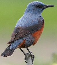 Blue Rock Thrush (Monticola solitarius) is a species of chat. This thrush-like Old World flycatcher was formerly placed in the family Turdidae. This species breeds in southern Europe and northwest Africa, and from central Asia to northern China and Malaysia..