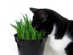 ¿Es el catnip peligroso para los gatos?