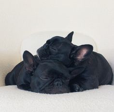 Frenchies pups