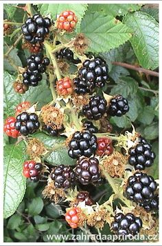 Gardens Of The World, Horticulture, Fresh Fruit, Blackberry, Food Videos, Flora, Gardening, Beautiful, Fitness