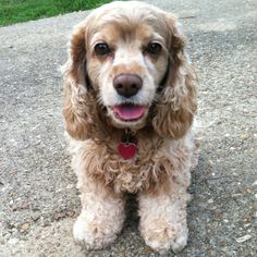 Cocker Spaniel...this is my precious Casey! <3