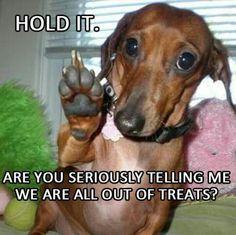Out of treats?! #Doxie Darlin' #Dachshund