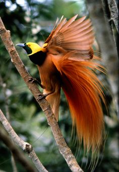 Raggiana Birds of Paradise,   New Guinea, feathers heavily used in feathered headdresses