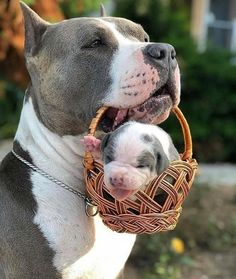 Uplifting So You Want A American Pit Bull Terrier Ideas. Fabulous So You Want A American Pit Bull Terrier Ideas. Baby Animals Pictures, Cute Animal Pictures, Animals Dog, Cute Little Animals, Cute Funny Animals, Beautiful Dogs, Animals Beautiful, American Pit Bull Terrier, Cute Dogs And Puppies