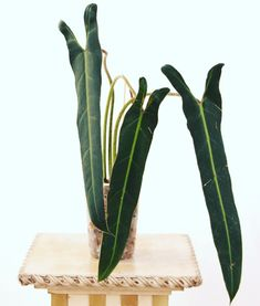 Philodendron Spiritus Sancti is one of the rarest and most endagered plants in the world and the unicorn on the wishlist of plant and aroid collectors. Rare Plants, Exotic Plants, House Plant Care, House Plants, Tropical Garden, Tropical Plants, Tropical Greenhouses, Spiritus, Plant Species