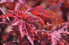 hibiscus mahogany splendor - August Flowers, Summer Special, Hibiscus, Special Events, September, Garden, Plants, Image, Garten