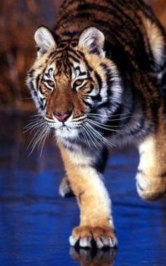 Амурский тигр - достояние России
