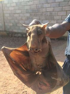 This is a hammer-head bat! Strange-looking! Bizarre Animals, Unusual Animals, Animals And Pets, Funny Animals, Cute Animals, Creepy Facts, Weird Creatures, Stuffed Animals, Beautiful Creatures