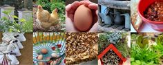 Backyard chickens and mites- detection, treatment and prevention, traditional and natural options included