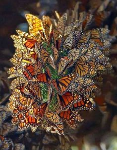 """Butterflies can conceal their identity in mass to look like """"something else"""" perhaps a plantlike flower?"""