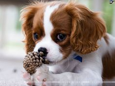 Amazing history of dog breed - Cavalier King Charles Spaniel. Diseases of Cavalier King Charles Spaniel. Cavalier King Charles Spaniel, King Charles Puppy, Rei Charles, Cute Puppies, Cute Dogs, Spaniel Puppies, Dog Love, Best Dogs, Dog Breeds