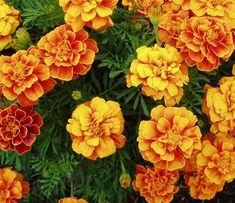 Marigolds | Types of Summer Flowers