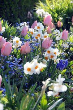 Love color combo! Spring Borders, Bulb Combinations, Perennial Combinations, Tulip Christmas Dream, Narcissus Cragford, Muscari Armeniacum, Narcissus Geranium, Tulipa Christmas Dream, Daffodil Cragford, Muscari, Daffodil Geranium