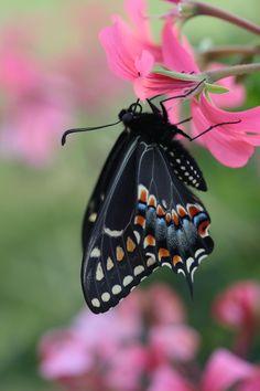 drxgonfly: First Black machaon 2014 (par Connie Etter)