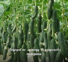Сажаю огурцы по методу белорусской тётушки. Урожай бомба! — Жизнь под Лампой!
