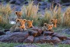 African Big Cats, Lion Cub, Kenya, Cubs, Lions, Panther, Wildlife, Fox, Sunset