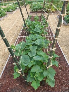 T-post and cordon (For Cukes) …. one of several ideas for a spider … - Diy Garden Projects Veg Garden, Vegetable Garden Design, Garden Trellis, Edible Garden, Lawn And Garden, Garden Beds, Diy Trellis, Vegetable Gardening, Veggie Gardens
