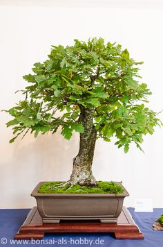 200 Jahre alte Fichte - Picea abies als Bonsai-Baum | Bonsai Bäume ...