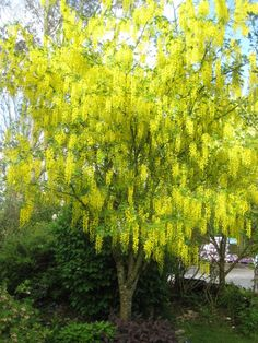 Laburnum x watereri 'Vossii' 25' x 20'. Dark green foliage for front SE corner of the courtyard