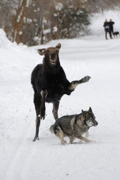 Moose attack - or, tag, you're it!
