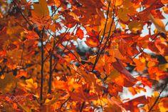 Inferno - Blazing leaves.
