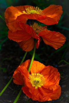 sun-on-poppies--gorgeous photo, I thought it was a painting