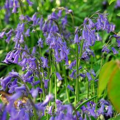 Buy bluebell bulbs Hyacinthoides non-scripta - English Bluebells from genuinely cultivated resources.: 10 bulbs: Delivery by Crocus Spanish Bluebells, English Bluebells, Planting Bulbs, Planting Flowers, Garden Plants, House Plants, Seed Raising, Woodland Garden